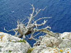 """Octopus"" on the cliffs (Vid Pogacnik) Tags: hrvatska croatia dalmatia adriatic sea cliff branch deadwood"