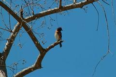 IMG_6654 (SweetMeow) Tags: birds yard home hiltonheadisland bluebird