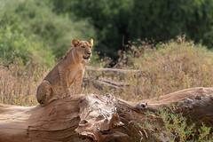 Young Lion (Hector16) Tags: africa pantheraleo kenya samburunationalpark samburu easternprovince ke