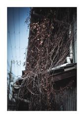 Dead ivy (gol-G) Tags: fujifilm xpro2 fujifilmxpro2 nokton 35mm f12 voigtlandernokton35mmf12aspherical digital color japan kobe