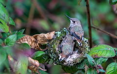 Allen's hummingbird chicks (Thy Photography) Tags: allenshummingbird annashummingbird hummingbird fullframe flowers california avian animal animals nature nectar photography birds baby chicks sanfranciscobayarea sunrise sunset sunshine sonya9
