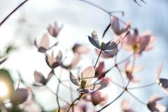 Pink Clematis flowers (35mmMan) Tags: pink clematis flowers spring prettyinpink sunshine backlit england dslr dof bokeh nikon d5300 50mm f14