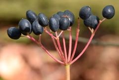 fruiting umbel, maple-leaved viburnum (ophis) Tags: dipsacales adoxaceae viburnum viburnumacerifolium mapleleavedviburnum umbel drupe