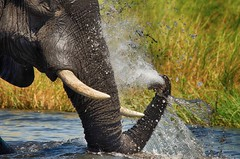 Keeping cool on a hot day... (lyn.f) Tags: african elephant loxodontaafricana choberiver botswana water waterislife pangolinphotosafaris nikon trunk