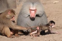 hamadryas baboon amersfoort 094A0080 (j.a.kok) Tags: animal africa afrika aap mammal monkey primate primaat baboon baviaan mantelbaviaan hamadryasbaboon zoogdier dier amersfoort