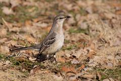 Northern Mockingbird (Lynn Tweedie) Tags: tail beak 7dmarkii feathers northernmockingbird eye bird wing eos sigma150600mmf563dgoshsm canon missouri ngc animal