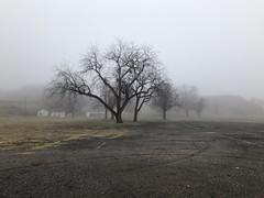 Swap Meet Oak Tree (boxbabe86) Tags: 300views 200views creepy mysterious california saugus swapmeet iphone8plus oak oaktree treesinmist trees fog