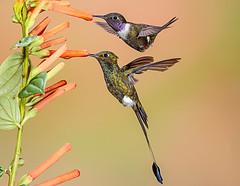 Hummers! (Andy Morffew) Tags: birds hummingbirds twofer bootedrackettail purplethroatedwoodstar ecuador tandayapabirdlodge andymorffew morffew inexplore explored