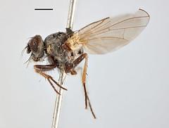 Anthomyza flavotibiella Zetterstedt, 1845 (Biological Museum, Lund University: Entomology) Tags: zetterstedt diptera anthomyiidae anthomyza flavotibiella emmesomyia socia mzlutype00484 taxonomy:binomial=anthomyzaflavotibiella
