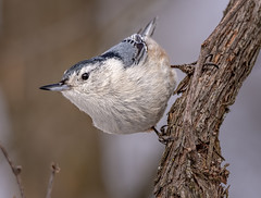 Curious (Wes Iversen) Tags: brighton kensingtonmetropark michigan milford sittacarolinensis whitebreastednuthatch beaks bird birds branch feathers tree wildlife hcs clichesaturday