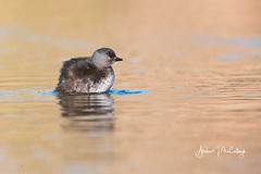 Least Grebe in the Evening (Let there be light (A.J. McCullough)) Tags: texas texasbirds birds grebe leastgrebe esterollanogrande southtexas featheryfriday