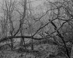 Horizontal Tree (Hyons Wood). Walker Titan SF with Nikkor 210mm Lens, 4 sec @ f32, Ilford Delta 400 in FX39 (Jonathan Carr) Tags: tree trees ancientwoodland hyonswood largeformat monochrome blackandwhite walkertitansf delta100 landscape rural northeast 4x5 5x4