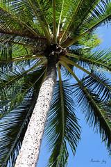 No Coconuts! (Pamela Jay) Tags: palmtree coconuts pamelajay queensland australia