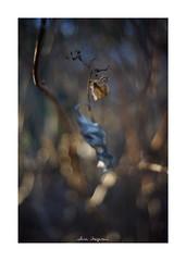 2019/1/14 - 3/9 photo by shin ikegami. - SONY ILCE‑7M2 / Voigtlander NOKTON CLASSIC 40mm f1.4 SC VM (shin ikegami) Tags: 紫陽花 flower 花 macro マクロ 井の頭公園 吉祥寺 winter 冬 asia sony ilce7m2 sonyilce7m2 s7ii 40mm voigtlander nokton nokton40mmf14sc tokyo photo photographer 単焦点 iso800 ndfilter light shadow 自然 nature 玉ボケ bokeh depthoffield naturephotography art photography japan earth