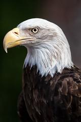 Bald Eagle, RaptorFest 2019 (Eric Seibert) Tags: ericseibert boydhillnaturepreserve stpetersburgflorida nikond850 beautifulbird ournationalbird ilovetheburg birdportrait raptor