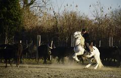 _DSC0611 (chris30300) Tags: camargue cheval