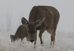 Mule Deer Doe On A Cold, Frosty Morning (fethers1) Tags: rockymountainarsenalnwr rmanwr rmanwrwildlife coloradowildlife deer muledeer muledeerdoe