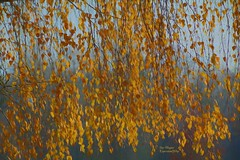 Golden Curtain (ExpressionOfJoy) Tags: birch tree leaves fallleaves fallcolors texture plant washingtonstate