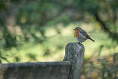 The Sunday Robin (jillyspoon) Tags: robin perched redbreast bokeh depthoffield bird birdwatching birdphotography birdwatcher birdspotting do sony sonyalpha alpha harlowcarrgardens therhs rhs