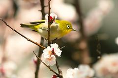 Mejiro (moaan) Tags: kobe hyogo japan jp bird mejiro japanesewhiteeye perch perching branchi springbranch springtime march ume umeblossom japaneseapricot blossoms blossoming inblossom bokeh bokehphotography dof canoneos5dsr ef7020mmf28lisiiusm2x utata 2019