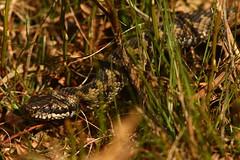 Old Milky Eyes (Derbyshire Harrier) Tags: adder male britishnativesnake easternmoors rspb nationaltrust moorland viper viperaberus derbyshire peakdistrict peakpark britishnativereptile march spring sloughing milkyeyes