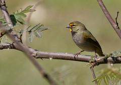 Yellow-faced Grassquit_19-03-01_Tiaris olivaceus (Langham Birder) Tags: cuba yellowfacedgrassquit tiarisolivaceus