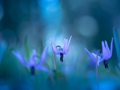 Spring ephemeral in blue (Tomo M) Tags: dogtoothviolet カタクリ katakuri nature bokeh flower 80d blue llight forest blur spring woods dreamy soft 城山カタクリの里