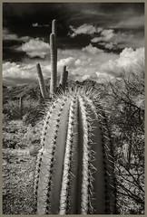 Sabino Canyon IR #29 2019; Young Saguaro (hamsiksa) Tags: desert sonorandesert desertplants xerophytes succulents cacti cactus saguaros cactaceae carnegieagigantea santacatalinamountains coronadonationalforest arizona tucson blackwhite infrared digitalinfrared mountains landscape desertscape
