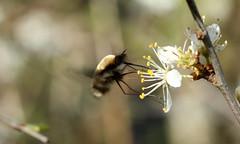 7483 Bombylius major (jon. moore) Tags: denhamcountrypark buckinghamshire bombyliusmajor diptera darkedgedbeefly