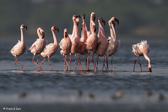 # Lesser Flamingos.................in a Mating Ritual !! (Dr Prem K Dev) Tags: lesser lovely lake flamingos feathers mating ritual courtship dance formation blue bird bokeh bg breeding plumage pulicat pink wild wings wonderful nature india composition colourful display group flock tropical red orange