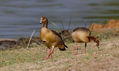 Egyptian Goose - Nijlgans -8939 (Theo Locher) Tags: alopochenaegyptiaca birds egyptiangoose nijlgans oiseaux vogels vögel southafrica zuidafrika krugernationalpark kruger copyrighttheolocher