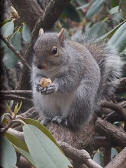 DSCN3439 December 24, 2018 (tombrewster6154) Tags: gray squirrel snacking acorn christmas eve day 2018 monday weston massachusetts rhododendron bush early winter pretty bark wood brown outdoors digital camera picture photograph photography natural beauty wild animal