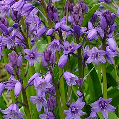 Bluebells (mcginley2012) Tags: bluebells closeup squarecrop cameraphone huaweip20pro colour green purple nature signsofspring spring2019