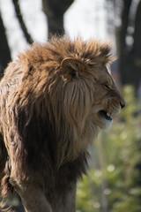 Leeuw (Panthera leo) | Nice Kitty (Frank Berbers) Tags: leeuw pantheraleo felidae katachtige zoogdier mammalia carnivora roofdier afrikaanseleeuw pantheraleoleo löwe landraubtier raubtier katze lion africanlion nikond5600 zoo zooparcoverloon overloon noordbrabant jardinzoologique tiergarten dierentuin liondafrique ♂ 2019