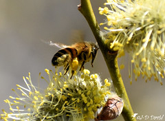 Abeille_17 (Jean-Daniel David) Tags: insecte insectevolant nature bokeh réservenaturelle bourgeon abeille butineuse closeup grosplan macro faune flore buisson branche arbre forêt yverdonlesbains suisse suisseromande vaud nikon nikond5600 afpnikkor70300mm14563ged