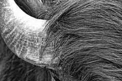 Hair and horn. (Ian Ramsay Photographics) Tags: camden newsouthwales australia docile bullock hair horn cattle rural agriculture farm beast burden monochrome image