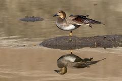 Gadwall (Trent Bell) Tags: bird birdwatching sanjoaquinwildlifesanctuary irvine california socal 2018 gadwall