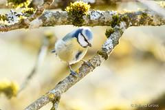 Blaumeise 43 (rgr_944) Tags: vögel vogel bird animals tiere outdoor natur animaux oiseau rgr944 canoneos80deos7dmk2eos5dmk4 animal wildlife tier