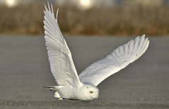 Snowy Flight. (hd.niel) Tags: snowyowl owls winter migration nature wildlife arctic inflight flying photography ontario