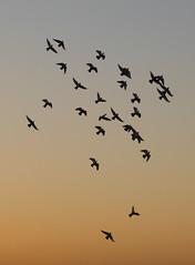 Pigeons at dusk, Amman, Jordan (mistermacrophotos) Tags: doves birds silhouette sundown canon 5d mk4 amman jordan middle east sky blue shapes formation pigeons pigeonkeeping arab tradition