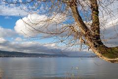 Branch at Lake Zurich (Bephep2010) Tags: 2018 7markiii alpha ast au auzh baum herbst ilce7m3 lakezurich sel1635z schweiz see sony switzerland zurich zürich zürichsee autumn branch fall lake tree ⍺7iii kantonzürich ch