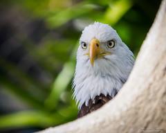 Bald eagle - Haliaeetus leucocephalus (N3ptun0) Tags: accipitridae accipitriformes animal animals aves baldeagle bird haliaeetusleucocephalus miami missioneverglades nature zoo zoomiami birdofprey raptor