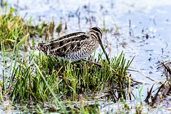 Snipe (Andrew 3457) Tags: water grass bird mkii canon300mmf28 canon7dii wildlife snipe