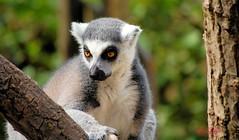 Thinking....deeply.. (LizasGarden) Tags: lizasgshots pairidaiza lemurs thinking pairidaizalemurs belgium