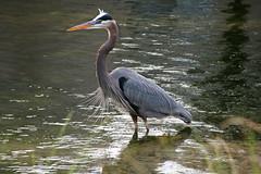 ...a cold january morning (Jim Atkins Sr) Tags: greatblueheron heron ardeaherodias bird fairfieldharbour northcarolina olympuspenepm2 olympus