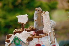 Stay back....its all mine! (ineedathis, Everyday I get up, it's a great day!) Tags: bokeh squirrel eating garden 2018gingerbreadhouse snowman picketfence windows decor carrot eave roof royalicing buttons bricks gingerbreadhouse christmas christmastree snow miniature sugarwork gumpaste modeling baking nikond750weeping atlas cedartreeornamental tree