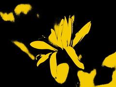 Żółty kwiat. (andrzejskałuba) Tags: poland polska pieszyce panasonicdmcfz200 lumix dolnyśląsk silesia europe roślina plant kwiat flower flora floral art yellow żółty color czarny beautiful black natura nature natural natureshot natureworld beauty słonecznikbulwiasty jerusalemartichoke macro 100v10f 1000v40f 1500v60f