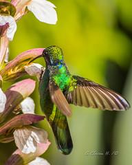 Chillón Común, Colibrí orejivioleta, Colibrí coruscans, Sparkling Violetear (G.Chacon H.) Tags: avesencolombia birds chillóncomún colibries colibrícoruscans colibríorejivioleta hummingbird pajaros sparklingvioletear aves fauna
