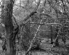 Leaning Trees. Walker Titan SF with Rodenstock 150mm Lens, 1 sec @f22, Delta 100 in HC110G (Jonathan Carr) Tags: ilforddelta100 landscape ruralnortheast woodland blackandwhite monochrome largeformat 4x5 walkertitansf trees tree