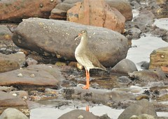 Redshank at Attention - Newbiggin Beach Rock Pool (Gilli8888) Tags: nikon p900 coolpix northumberland northeast water newbigginbythesea newbiggin coast coastal coastline eastcoast northsea sea marine redshank beach rockpool rocks waders shoreline seaside
